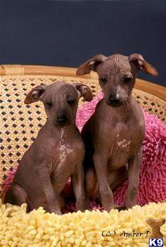 Xoloitzcuintli Puppies