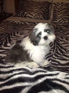 Sparky the Shih Tzu looking at Mommy