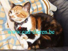 #VERMIST #kattin te #Kalmthout / #Achterbroek (Antw) sinds 23/05/2014 - rode halsband met bel http://users.telenet.be/coordinatie.dierenbescherming.antwerpen1/wr_cad/2014/wr_2014_vk_lapjes&schildpad.html door: cad Kattin gesteriliseerd Kortharig Lapje Wit aan snuit, borst, buik, poten met vlekken Zwart op borst Droeg rode halsband met bel #Kalmthout Achterbroek Zandstraat