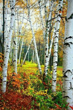 Fall nature photography trees 60 Ideas for 2019 Autumn Scenery, Autumn Nature, Nature Tree, Autumn Trees, Birch Tree Art, White Birch Trees, Pictures To Paint, Nature Pictures, Landscape Art