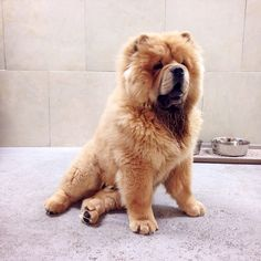 """Behold the regal Yoshi, newest addition to our Bloor West daycare location. #dog #chowchow #chow #doggieland #welovedogs #iheartdogs #daycare #doggieland…"""
