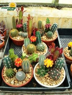 A cactus is a superb means to bring in a all-natural element to your house and workplace. The flowers of several succulents and cactus are clearly, their crowning glory. Cactus can be cute decor ideas for your room. Mini Cactus Garden, Succulent Gardening, Succulent Terrarium, Cactus Flower, Cacti And Succulents, Planting Succulents, Cactus Plants, Planting Flowers, Organic Gardening