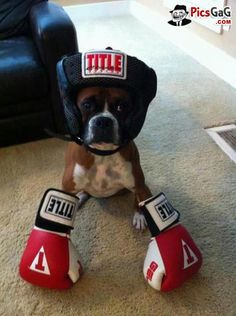 Boxer Dog Funny  [ More Funny Dog Pictures: http://www.picsgag.com/funny-animals/ ]