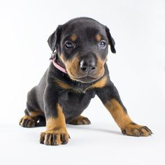 Female doberman puppy (Pink collar), $2 000.00