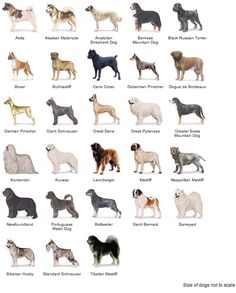 Working Dogs: American Kennel Club Breeds