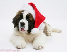 Merry christmas and happy new year from the most wonderful dog breed ever!!! Love you st.Bernard dogs!!!!!!!