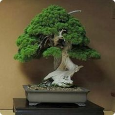Top 5: Oldest Bonsai Trees