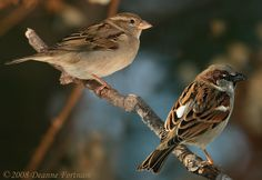 """House (English) Sparrow Affectionately know as the """"Sputzie"""", this is the most common of all birds. Ohio Birds, All Birds, Little Birds, Love Birds, Beautiful Birds, Female House Sparrow, Sparrow Nest, Common Birds, Backyard Birds"""