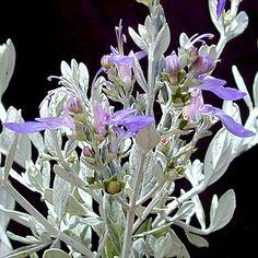 Teucrium fruticans 'Azureum'