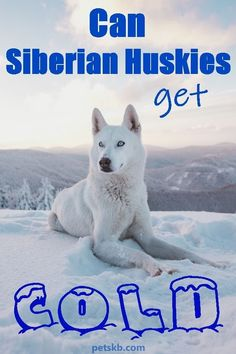 We know they originated in a cold climate but does this mean they should be kept in chilly, snowy conditions? Discover the ideal comfort temperatures for Siberian Huskies in this article Siberian Dog, Siberian Husky Facts, Siberian Huskies, Long Hair Cat Breeds, Dog Stress, All Breeds Of Dogs, Dog Information, Dog Care, Dog Owners