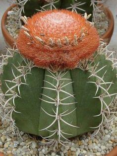 Dwarf Turks Cap Cactus World of Succulents Cacti And Succulents, Planting Succulents, Planting Flowers, Cacti Garden, Succulent Planters, Succulent Arrangements, Flowers Garden, Hanging Planters, Small Cactus