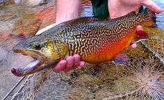 Tiger Trout...Brook & Brown