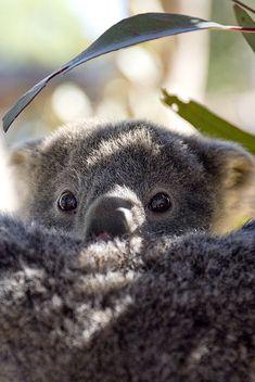Amazing wildlife - Koala Bear photo #KoalaBear