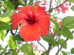 A red Hibiscus (Turkey).  It xists also yellow hibiscus.