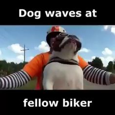 English Bulldog Waves at Fellow Bier Funny Animals Funny Animal Memes, Funny Animal Videos, Cute Funny Animals, Funny Animal Pictures, Cute Baby Animals, Funny Cute, Funny Dogs, Animals And Pets, Hilarious Pictures