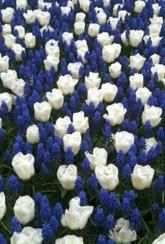 Tulip Calgary & Muscari armeniacum