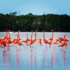 On our taxi ride from the airport to Fiesta Americana hotel we saw a flock of flamingos.