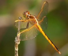 Golden-colored dragonfly    (Odonata)