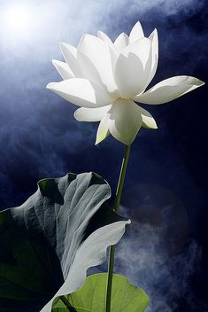 Lotus Flower - IMG_0168-sun-prime by Bahman Farzad, via Flickr
