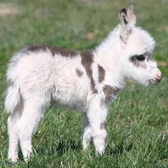 Mini horse ( little baby donkey)