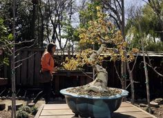 A trident maple is seen as visitors tour the Clark Bonsai Collection on display at Woodward Park's Shinzen Garden.