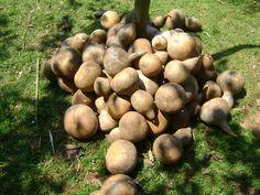 Cabaças. Os frutos são colhidos e amontoados à sombra para que a secagem ocorra de forma lenta.  Texto e fotografia: sitioearte.wordpress.com
