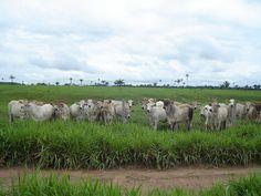 Boiada - Norte do Mato Grosso