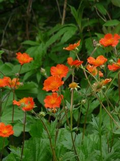 Shade Garden, Garden Plants, Wallflower Plant, Geum Jan Di, Wildflower Drawing, Cheap Landscaping Ideas, White Flower Farm, British Flowers, Flower Garden Design