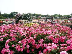 Warna-warni lautan bunga di 5 kebun mawar terindah dunia | merdeka.com