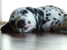 Dalmata I think I can hear mice......