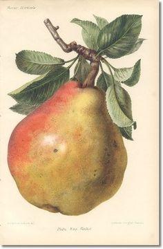 Revue Horticol - Botanical Prints - Illustrated Book Plate Illustration from Revue Horticole 1800s - Botanical Print - 13 - PEAR FRUIT Archival Fine Art Paper Print