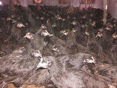 ahmet şen tavukçuluk  edirne-kırklareli-tekirdağ bölgesi yumurtalık tavuk-civciv-hindi – kümes malzemeleri-kümes ekipmanları satışı