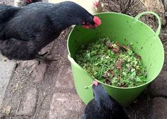 7 Common Weeds your Chickens Will Love --1. Chickweed, 2. Clover, 3. Dandelion (leaves, roots, & flowers), 4. Wild Strawberry, 5. Bitter Cross, 6. Smartweek, 7 Beautyberry.  Weeds are free, very nutritious, and  chickens love them.    (Community Chickens)