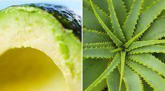 ½ abacate pequeno; 2 folhas de babosa; 10 ml de óleo de argan (o equivalente a duas colheres de chá); 2 ml de azeite de oliva extra-virgem (pouco menos que meia colher de chá); 5 ml de óleo de coco (1 colher de chá); 20 ml de uma máscara hidratante de cabelos (um pouco mais de uma colher de sopa);Modo de preparo Tire o extrato da parte interna da folha da babosa;Misture todos os ingredientes até que fique uma pasta bem homogênea. Após lavar os cabelos com shampoo neutro, enxugue os fios