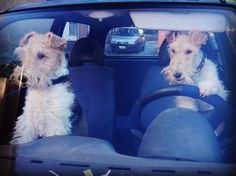 """""""I WILL NOT STOP FOR DIRECTIONS!! I'm a Terrier!"""""""