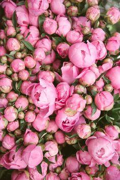 Pandora's Box, Copenhagen - The Londoner - Peonies Frühling Wallpaper, Flower Wallpaper, My Flower, Pretty Flowers, Cactus Flower, Pink Roses, Pink Flowers, Tea Roses, Exotic Flowers