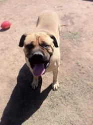 Bueller is an adoptable Bullmastiff Dog in Laveen, AZ. PHOENIX, AZ BULLMASTIFF- Meet Bueller...I am a 5 yr old neutered fawn male. I am a handsome sweet boy, with prancing feet who loves attention! I ...