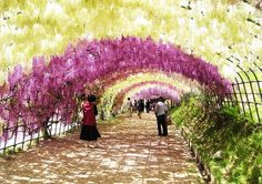 The Wisteria Tunnel - Japan
