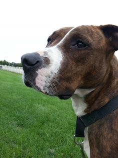 Carly is #adoptable at #Joliet township animal control on Facebook