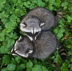 Raccoon Cuddle by Connor Stefanison by beautiful-wildlife