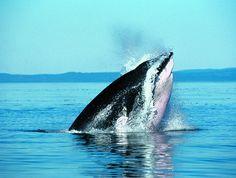 Jour 09 :   LE CHARLEVOIX – TADOUSSAC – RÉGION DE QUÉBEC • (265 KM/3H45) Matinée libre à Tadoussac qui accueille chaque année entre mai et octobre les baleines qui remontent le Saint-Laurent. Possibilité de partir en croisière d'observation des phoques, baleines à bosse, rorquals et bélugas (avec supplément). Déjeuner à Tadoussac. Route en direction de Québec. Arrêt au parc de la Chute Montmorency, haute de 83 m. Dîner de saumon et nuit aux environs de Québec.