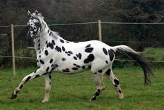Palousa San Sebastian - Show Horse Gallery, A Different Horse is Featured Every Day
