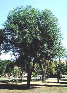 Shamel ash great shade tree in Phoenix.