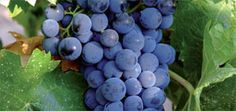 Campo Viejo Spanish Rioja wine including red wine, white wine, sparkling and rosé - Campo Viejo