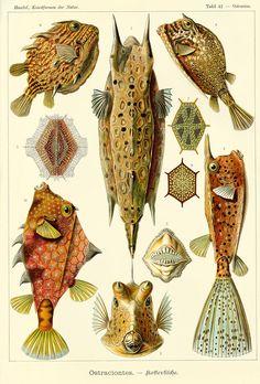 Haeckel Ostraciontes - Kunstformen der Natur - Wikipedia