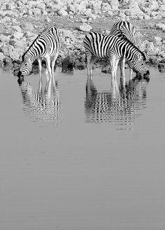Etosha National Park, Namibia. Cebra de Burchell (Equus quagga burchelli), Burchell zebra by Ángel Hernansáez, via Flickr