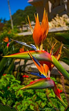 Crane flower, Geel piesang, Bird-of-Paradise or Strelitzia. It grows naturally, only in South Africa's eastern coast, on river banks.crane flower