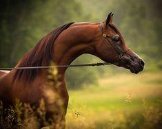 Victorious LD (DA Valentino x Queen Adiamonds) 2009 Bay Stallion