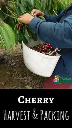 See how cherries are harvested and packed at large growing and packing operations. Fruit Trees, Fruits And Vegetables, Cherries, Harvest, Planter Pots, Packing, Apocalypse, Videos, Flowers