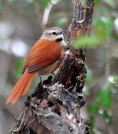 Foto estrelinha-preta (Synallaxis scutata) por Ricardo Gentil | Wiki Aves - A Enciclopédia das Aves do Brasil
